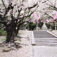 2013ooyamasakura7